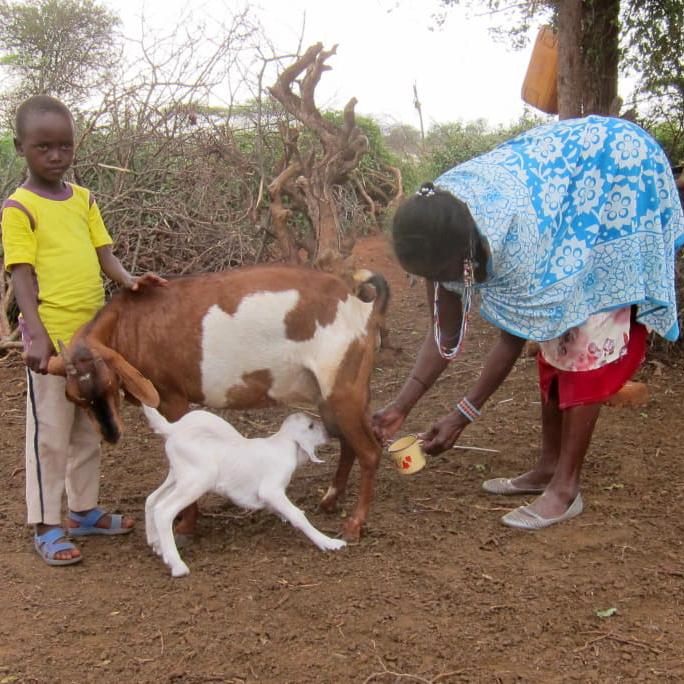 Mpapayio och Mamma Penninah mjölkar getterna